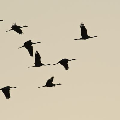 Zug der Kraniche / Migration of Cranes