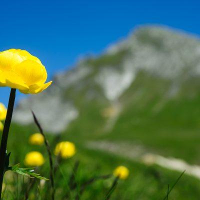 Alpine Blumenwiese mit Schafgafall im Hintergrund (2,414m), Brandnertal, AT.  Alpine flowers in the Brandner Valley with peak Schafgafall (2,414m) in the background, AT.