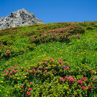 Alpenrosen im Brandnertal, AT.  Alpine roses in the Brandner Valley, AT