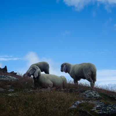 Sheep at Punta di Laasa / Orgelspitze (3.305m)